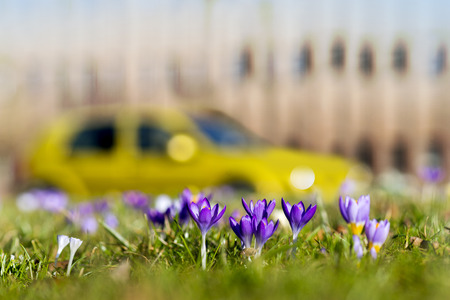 crocuses in grass in spring in city park with building and car in blurred background Фото со стока