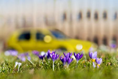 krokusy w trawie wiosną w parku miejskim z budynku i samochodu w niewyraźne tło