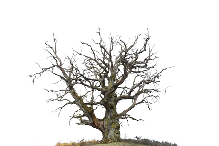 ancient bare oak tree isolated on white