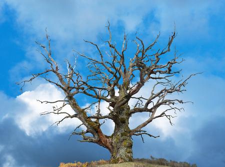 roble arbol: roble desnuda antiguo en el cielo azul brillante