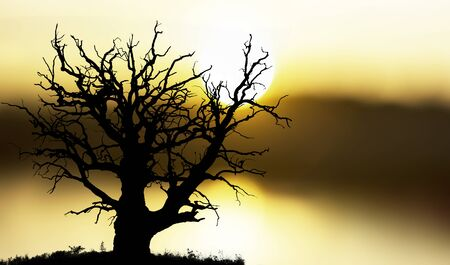 solitary: ancient bare oak tree on yellow and orange sunset Stock Photo