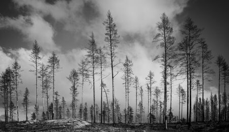 Monochrome image of burnt trees after forest fire Reklamní fotografie