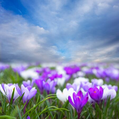 Field with purple and white crocus and bright blue sky  스톡 콘텐츠