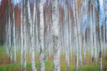 Birch tree forest in autumn, with blur creating illusion of a painting.