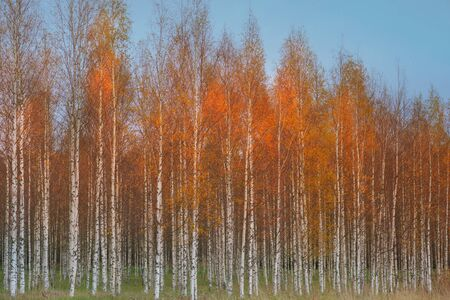 Autumn birch forest with orange and yellow colors on blue sky