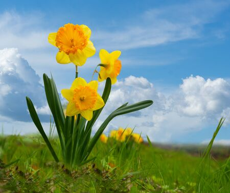 yellow daffodil in spring on blue bright sky
