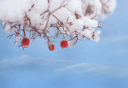Red rowan berries in tree covered in snow and ice, on blue sky Banco de Imagens