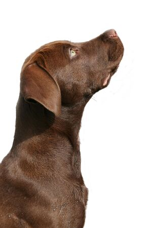 Profil of a brown labrador looking up on a white background