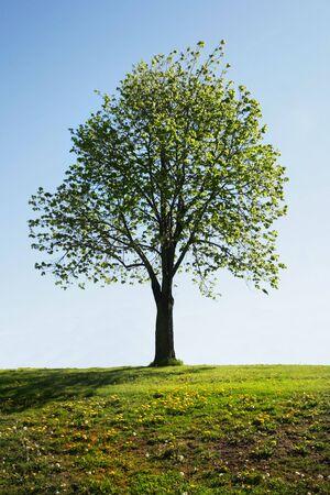 huge tree: Single tree