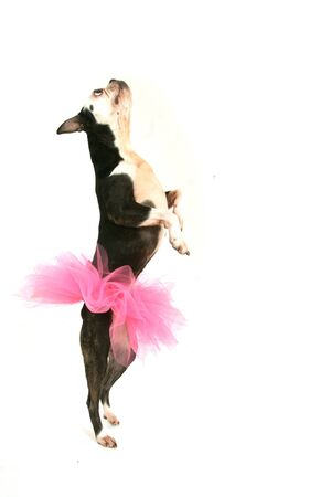 Old boston terrier with a pink tutu dancing on a white background