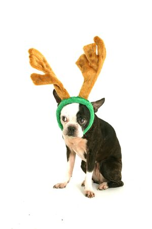 greeting christmas: Old boston terrier with christmas horn on head looking on left on white background