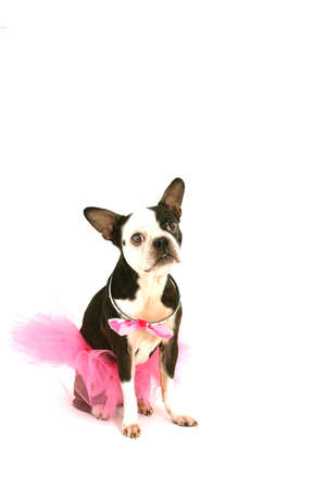 Terrier with tutu photo