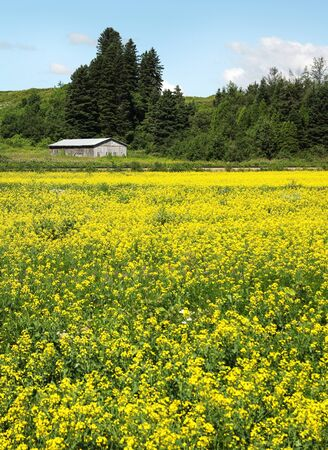 canada agriculture: Old barn in a canola field into summer