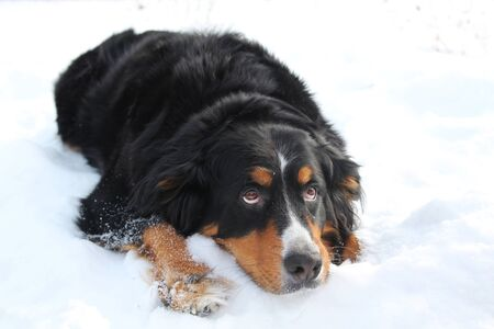 Bernese mountain dog looking sad, laying in snow and looking up photo