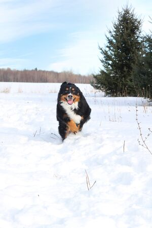 Bernese mountain dog running in snow during a nice winter day photo