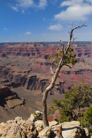 Dry tree with Grand Canyon in background photo