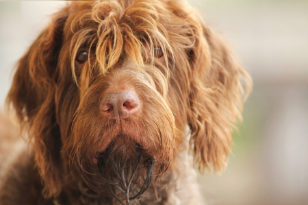 griffon: Portrait of a beautiful wirehaired pointing griffon