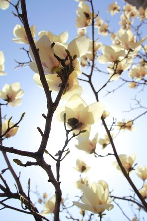 White magnolia against the sun in a blue sky photo