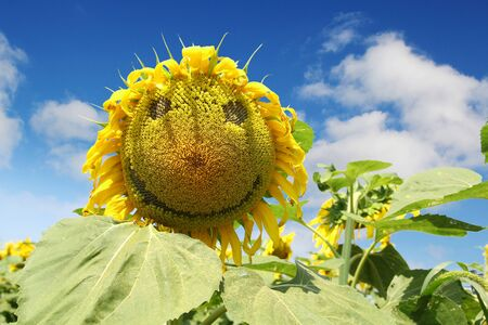 smiley: Nice yellow happy face sunflower against a blue sky