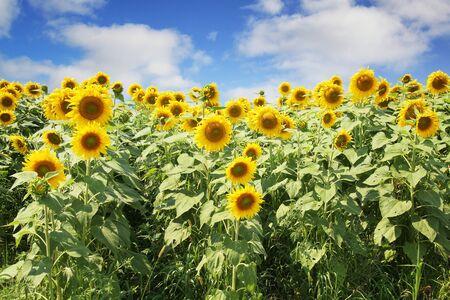 Nice sunflower field against a blue sky photo