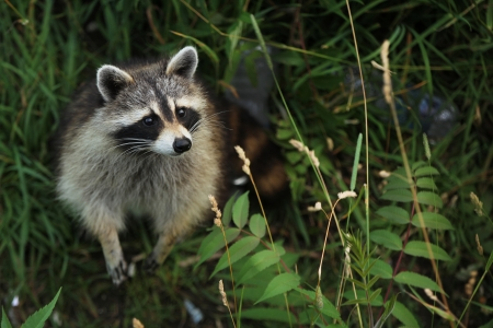 racoon: Curious racoon in a forest looking up