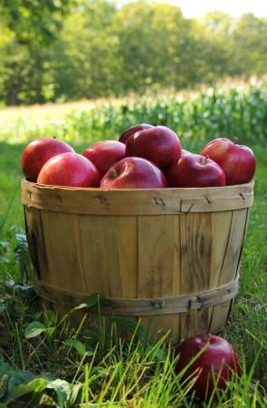 素敵な秋の日の間に果樹園でバスケットで赤いリンゴ