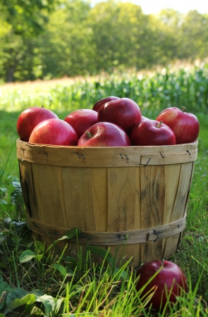 Red apples in a basket in a orchard during a nice autumn day photo