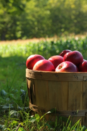 Fresh red apples in a basket in a orchard during fall season photo