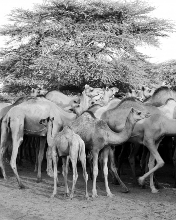 Camels in a farm in black and white photo
