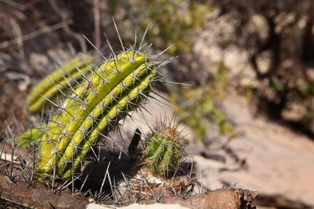 Close up of a cactus full of spine in Jericoacoara Stock Photo