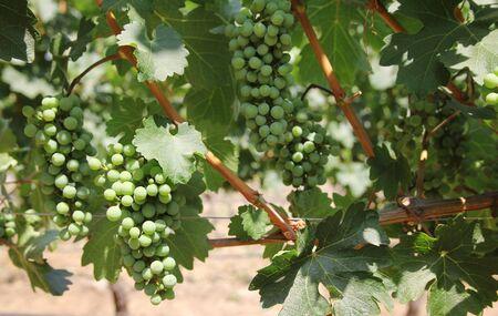 cabernet: Grape of cabernet sauvignon in a vineyard in Chili