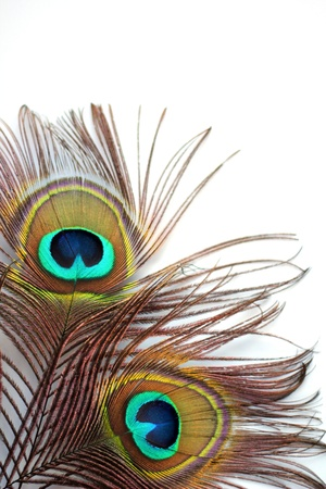 plume blanche: Deux plumes de paon sur un fond blanc Banque d'images