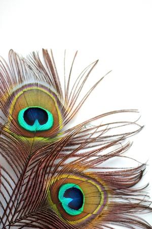 peacock feathers: Dos plumas de pavo real en un fondo blanco