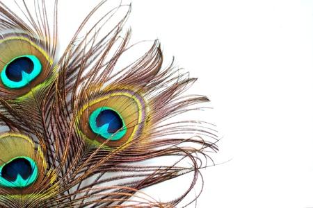 peacock feathers: Tres plumas de pavo real en un fondo blanco