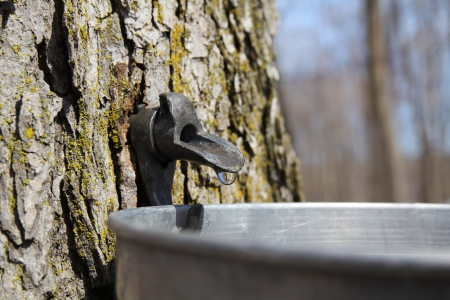 Close up of a droplet of sap flowing from the maple tree into a pail to make pure maple syrup Banco de Imagens