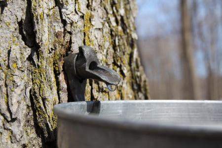 Nahaufnahme von einem Tropfen Saft fließt aus der Ahorn-Baum in einen Eimer zu Ahornsirup machen Standard-Bild - 19059970