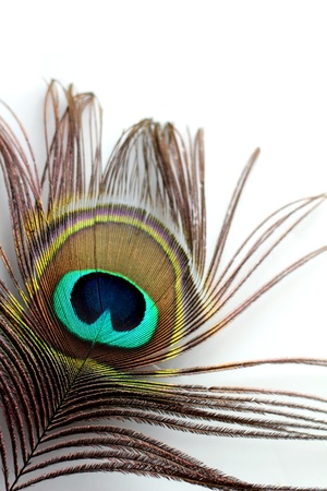 irridescent: A peacock feather on a white background Stock Photo
