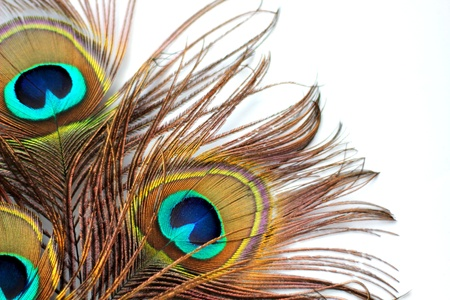 irridescent: Three peacock feathers on a white background Stock Photo