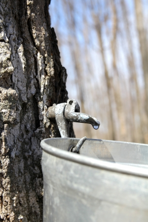 Close up of a droplet of sap flowing from the maple tree into a pail to make pure maple syrup Imagens