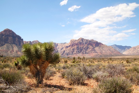 Lonely joshua tree at red rock canyon in Nevada Stock Photo - 21377035