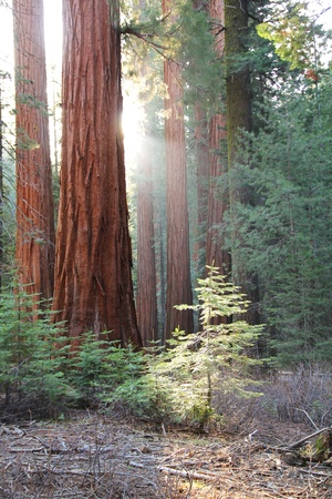 Ray of light between the sequoia in Yosemite national park in California
