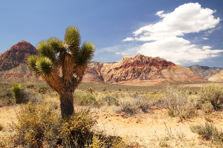 nevada: Lonely joshua tree at red rock canyon in Nevada Stock Photo