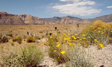 Yellow flowers in the desert at red rock canyon in Nevada, united states photo