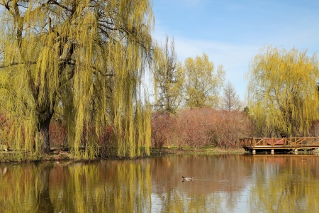 weeping willow: Spring time with a pound with reflection of weeping willow