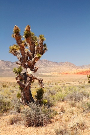 Lonely joshua tree in a desert in Nevada Stock Photo - 22104337