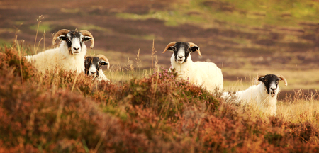 Four curious black face sheep in the Cairngorms, Scotland photo