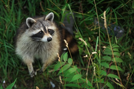 Curious racoon in a forest Stock Photo