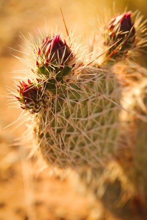 with spines: Close up of a cactus in Arizona with long spines and red flowers Stock Photo