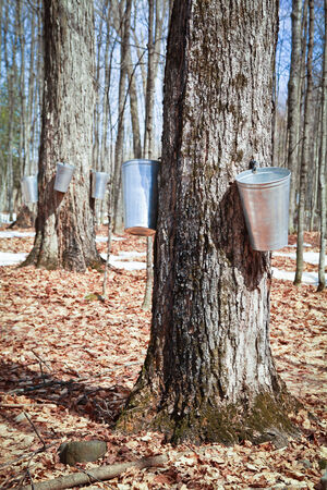 Pails in trees to collect sap of maple trees to produce maple syrup. photo