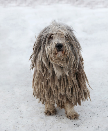 Beautiful Puli dog with rasta during winter season